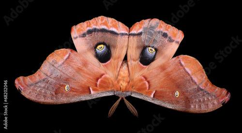 Photo Polyphemus Moth Isolated