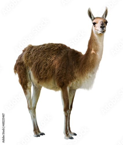 Door stickers Lama Standing guanaco