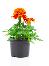 Dark Red Marigold In Pot, On White Isolated Background