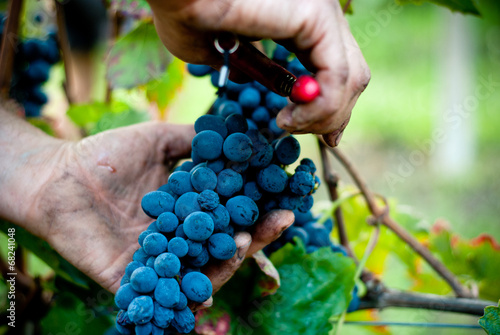 Fotografia  Taglio del grappolo d'uva