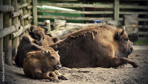 Fényképezés  Young auroch lying on the ground