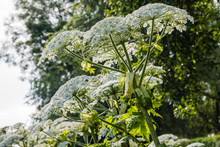 Flowering Giant Hogweed From C...