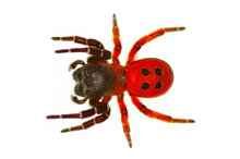 Ladybird Spider (eresus Cinnab...