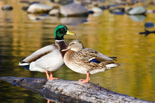 Pair Of Mallard Ducks Resting ...