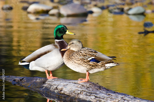 Photo  Pair of Mallard Ducks Resting in an Autumn Pond