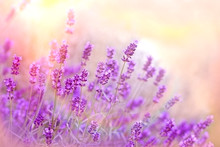 Soft Focus On Lavender