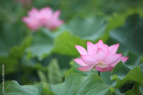 Staande foto Lotusbloem ハス