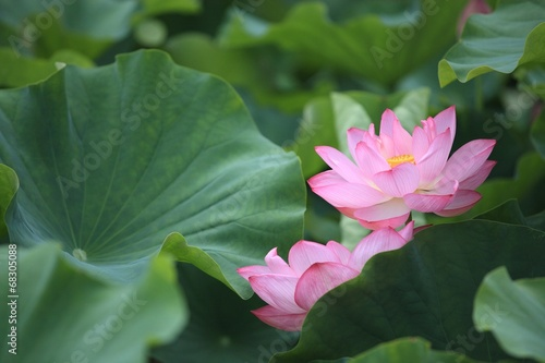 Foto op Canvas Lotusbloem ハス