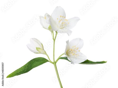 Canvas-taulu isolated beautiful jasmine branch