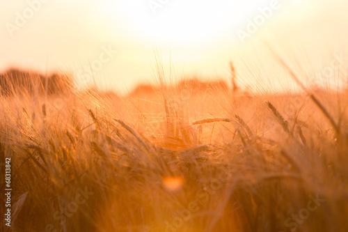 Foto auf Gartenposter Landschappen Golden ears of wheat on the field