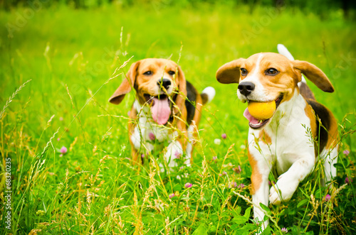 Stampa su Tela two beagle