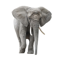 Fototapeta African elephant isolated on white with clipping path