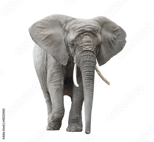 Deurstickers Olifant African elephant isolated on white with clipping path