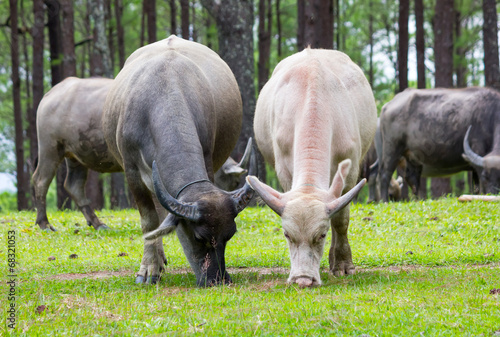 Poster Buffalo asia buffalo grazing on a green grassy field