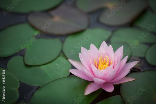 Garden Poster Lotus flower beautiful waterlily
