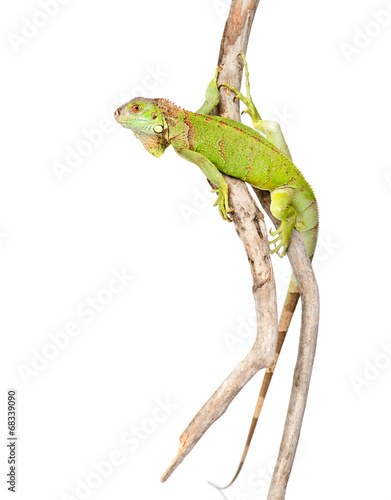 green agama crawling on dry branch. isolated on white background Wallpaper Mural
