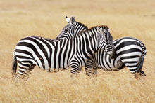 Zebras On The Masai Mara In Africa