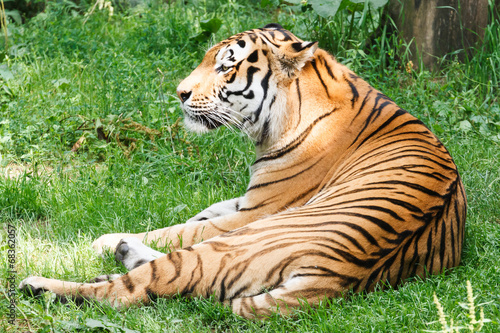 Photo Stands Tiger Amurtijger, Panthera tigris altaica