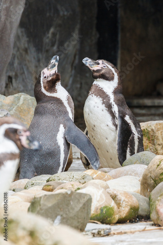 Photo Stands Penguin Humboldt pinguïn, Sphenicus humboldti