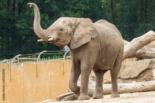 Poster Elephant Loxodonta africana, Afrika, Afrikaanse olifant,