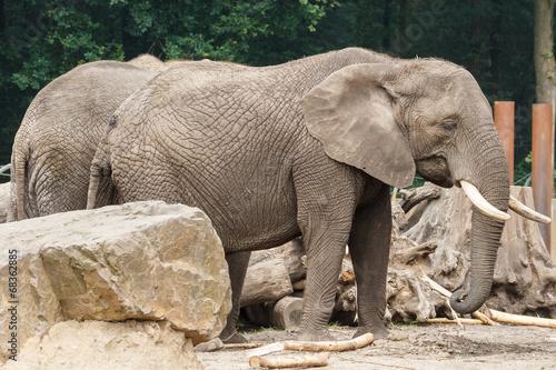 Poster Parrot Afrikaanse olifant, Loxodonta africana, Leeft in: Afrika