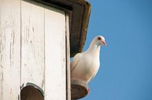 Curious Dove