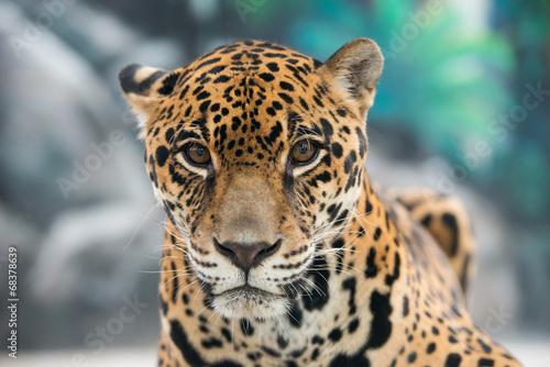 Deurstickers Panter jaguar ( Panthera onca )