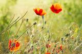 Fototapeta Kwiaty - Kwiaty polnych maków pośród ziół i traw