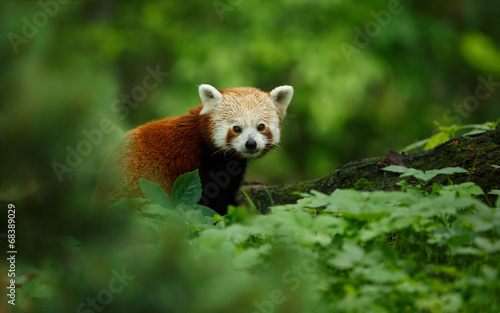 Photo  Portrait of a Red Panda (Ailurus fulgens)