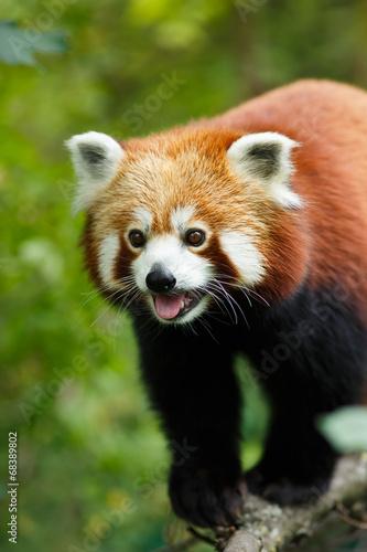 In de dag Panda Portrait of a Red Panda (Ailurus fulgens)