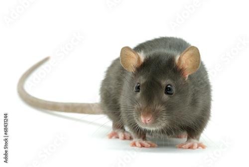 Foto rat