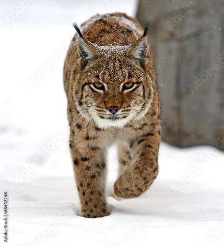 Foto auf Leinwand Luchs winter Lynx