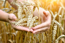 Woman Hands With Ears Of Wheat. Close-up