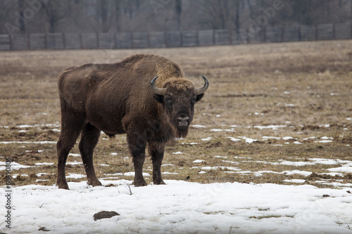 Fotografia, Obraz  Bison bull looking straight to camera