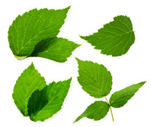 Blackberry Leaves On The White Background