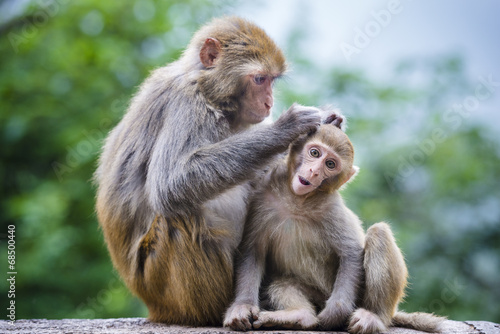 Spoed Foto op Canvas Aap Macaques in Guiyang, China