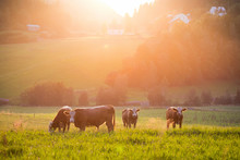 Livestock Grazing During Sunse...