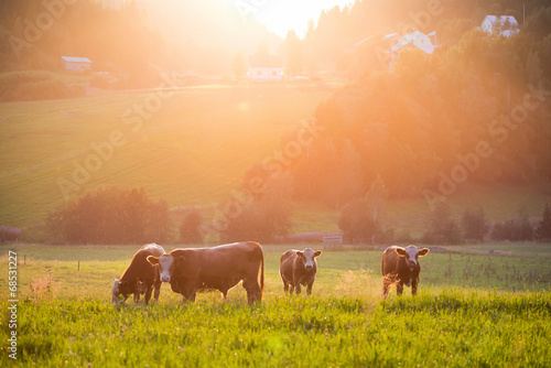 Aluminium Prints Cow Livestock grazing during sunset in a valley