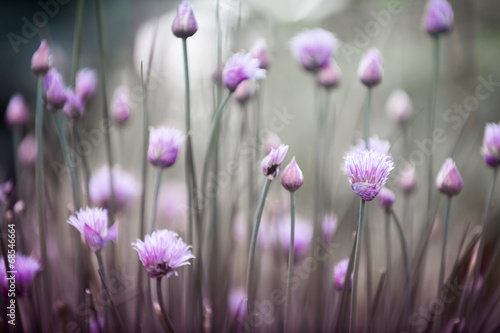 Fototapety, obrazy: Flowering chives