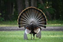 Wild Turkey Fanned