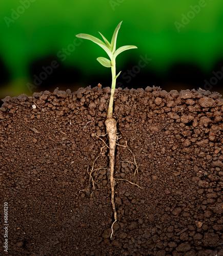 Growing plant with underground root visible acheter cette photo libre de droit et d couvrir - Plant de rhubarbe a vendre ...