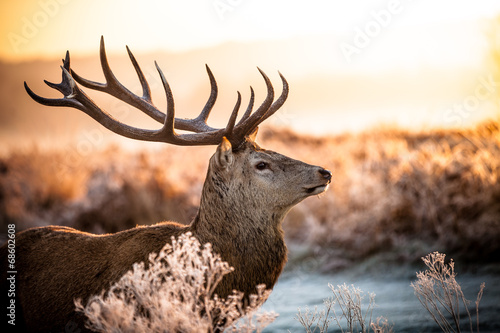 Poster Chasse Red deer