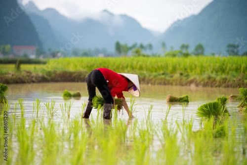 Fotografía  Rice transplanting in Vietnam