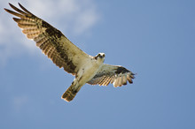 Osprey Making Eye Contact Whil...