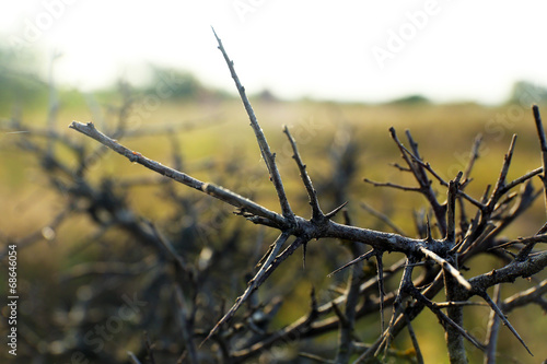 Thorn bush, outdoors