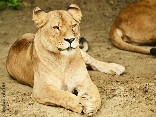 Staande foto Leeuw lione