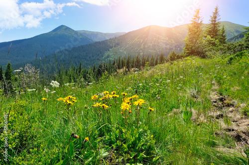 Fototapeta Arnica flowers (Arnica montana) on a background of mountains and obraz