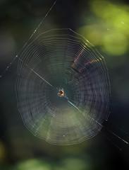 toile d'araignées en forêt de Fontainebleau