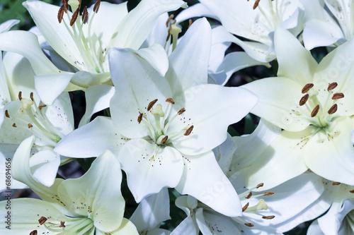 Photo  White lilies