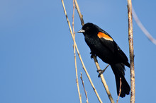 Red-Winged Blackbird Perched I...
